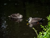 Los pares de punto cargaron en cuenta el pato bajo la lluvia 1 fotografía de archivo