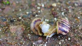 Los pares del caracol hacen el amor almacen de video