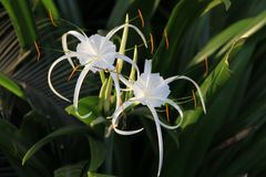 Los pares del lirio blanco les gustan las flores con los pétalos largos Imágenes de archivo libres de regalías