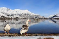 Los pares del pato se relajan en el lago Fotografía de archivo libre de regalías