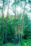 Los parques naturales de la región de Moscú, el Sun filtraban a través de los árboles de pino fotos de archivo