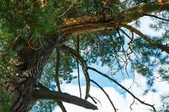 Los parques naturales de la región de Moscú, el Sun filtraban a través de los árboles de pino Pinos majestuosos que se sacuden en imagenes de archivo