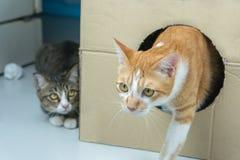 Los paseos de gato fuera de la caja grande fotografía de archivo libre de regalías