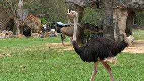 Los paseos de la avestruz alrededor del césped en el Khao Kheow abren el parque zoológico tailandia almacen de video