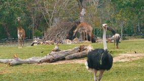 Los paseos de la avestruz alrededor del césped en el Khao Kheow abren el parque zoológico tailandia metrajes