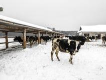 Los paseos de la vaca Imagen de archivo libre de regalías