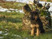 Los pastores alemanes están corriendo en el jardín en la nieve Fotos de archivo