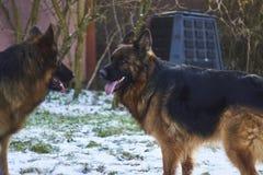 Los pastores alemanes están corriendo en el jardín en la nieve Fotos de archivo libres de regalías