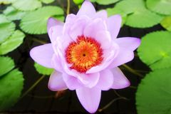 Los patanes púrpuras del color son un significado espiritual Imagenes de archivo