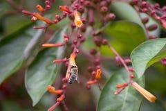 Los patens del Hamelia de Bush del fuego son un paraíso de la donadora de polen con las abejas y las mariposas que aman las flore Foto de archivo libre de regalías