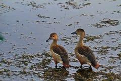 Los patos Fotografía de archivo libre de regalías