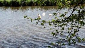 Los patos blancos flotan en el agua del río almacen de video