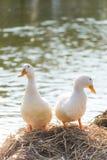 Los patos blancos se colocan al lado de una charca o de un lago con el fondo del bokeh Foto de archivo libre de regalías