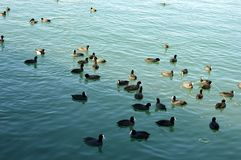 Los patos de la alimentación de la gente del mar fotos de archivo libres de regalías