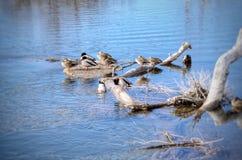 Los patos del pato silvestre se juntan en rocas en el río Arkansas Imagenes de archivo