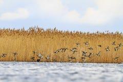 Los patos del vuelo vuelan sobre el lago de la primavera Imágenes de archivo libres de regalías