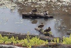 Los patos encendido abren una sesión la charca reservada Foto de archivo libre de regalías