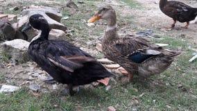 Los patos están caminando Imagenes de archivo