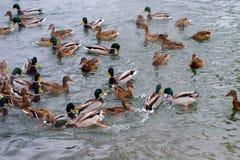 Los patos están flotando en el agua Fotos de archivo libres de regalías
