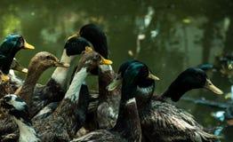 Los patos están listos para nadar foto de archivo