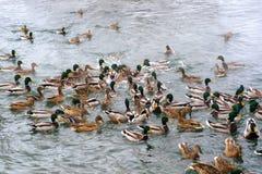 Los patos están luchando para el pan Fotografía de archivo libre de regalías