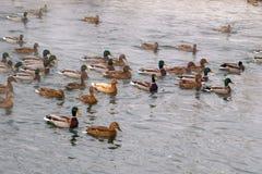 Los patos están nadando reservado Foto de archivo