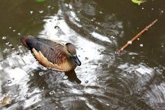 Los patos están nadando una estancia agradable. Imagen de archivo libre de regalías