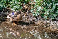 Los patos femeninos del pato silvestre con los anadones amontonaron juntos en el riverbank ocultados entre la vegetación foto de archivo