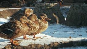 Los patos grises se colocan en el pato zambullidor de la nieve Strepera de las anecdotarios almacen de metraje de vídeo