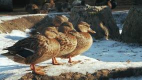 Los patos grises se colocan en el pato zambullidor de la nieve Strepera de las anecdotarios almacen de video