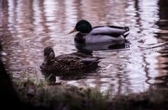 Los patos le están mirando Imagen de archivo libre de regalías
