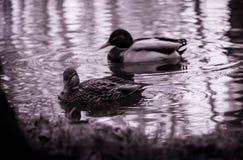 Los patos le están mirando Fotografía de archivo