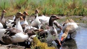 Los patos nacionales beben el agua almacen de video