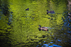 Los patos nadan en la charca en el verano Imagen de archivo libre de regalías