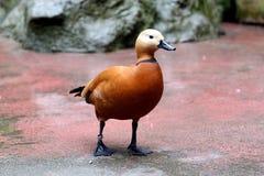 Los patos rojos son estancia agradable. Imagen de archivo