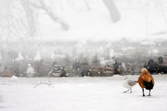 Los patos salvajes en el lago congelado del invierno de la nieve ajardinan. Fotografía de archivo