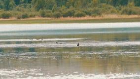 Los patos salvajes nadan en el lago, zambulliéndose en el agua y la consumición almacen de metraje de vídeo