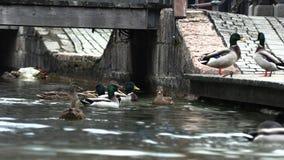 Los patos salvajes se divierten en el embarcadero, cámara lenta almacen de metraje de vídeo