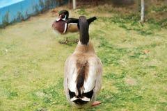 Los patos se están colocando Imagenes de archivo