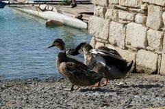 Los patos se juntan en la playa Foto de archivo