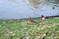 Los patos se sientan en la orilla de la charca juntos Varón y hembra foto de archivo libre de regalías