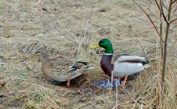 Los patos silvestres tempranos de la mañana de la primavera caminan en la hierba imagenes de archivo