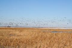 Los patos silvestres vuelan al norte Imagenes de archivo