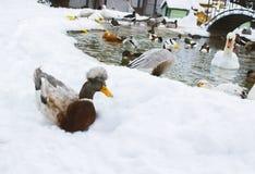Los patos son diferente-grises, rojo, con cresta, rayado, negro Swi de los pájaros imagen de archivo libre de regalías