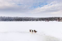 Los patos son lago congelado invierno cercano con el bosque del pino Imagen de archivo libre de regalías