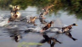 Los patos toman vuelo Fotografía de archivo libre de regalías