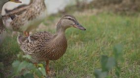 Los patos vienen en tierra del lago almacen de metraje de vídeo
