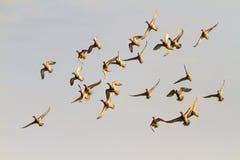 Los patos vuelan sobre sus cabezas Foto de archivo