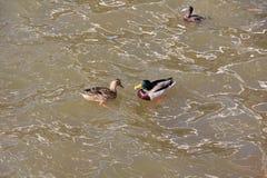 Los patos y el pato macho resueltos en la primavera en el río y otro pato en la distancia mira los pares foto de archivo libre de regalías