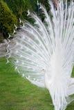 Los pavos reales blancos masculinos son cola-plumas separadas IV Imagen de archivo libre de regalías